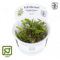 Cryptocoryne wendtii 'Green' 1-2-Grow!