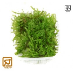 Vesicularia dubyana 'Christmas moss' portion