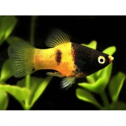 Platy Bumble Bee 3.5-4cm