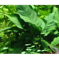 Anubias barteri caladiifolia(ΦΠ)
