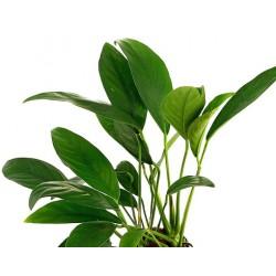 Anubias barteri var. angustifolia σε πέτρα λάβας