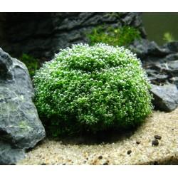 Riccia Fluitans σε Πέτρα Λάβας(ΦΠ)
