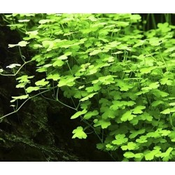Hydrocotyle Tripartita (Japan)