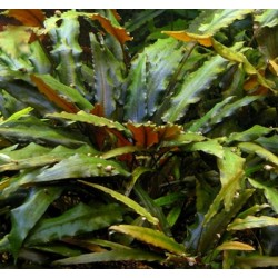 Cryptocoryne Wendtii Brown(ΦΠ)