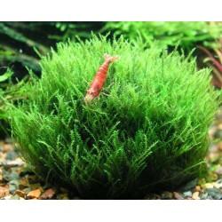 Amblystegium Serpens (Nano Moss) σε Πέτρα Λάβας(ΦΠ)