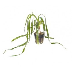 Crinum thaianum potted