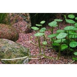 Hydrocotyle verticillata(ΦΠ)