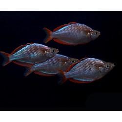 Μελανοταινία Praecox Neon Dwarf Rainbow 3cm