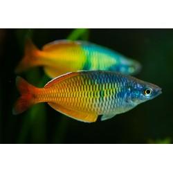 Μελανοταινία Βoesemani Rainbow 4-7cm