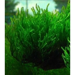 """Taxiphyllum sp.""""Flame"""" Moss cup"""