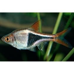 Harlequin Rasbora Heteromorpha (Αρλεκίνος) 2,5-3cm