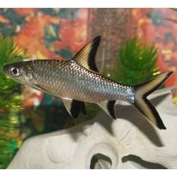 Silver Shark 7cm