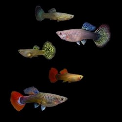Guppy Mix Female 3.5-4cm
