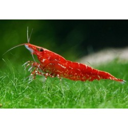 Γαρίδα Super Red Cherry 1.2cm (Neocaridina denticulata sinensis)
