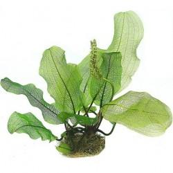Aponogeton madagascariensis Bulb