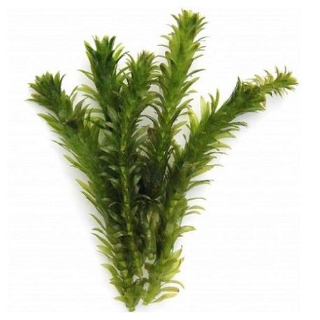 Egeria densa 'Dense Waterweed' Pot
