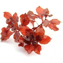 Ludwigia spec. Super Red Pot
