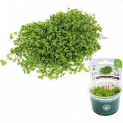 Micranthemum spec. 'Montecarlo' In-Vitro