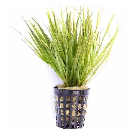 Blyxa japonica Pot