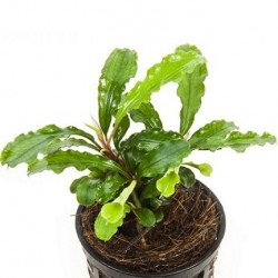 Bucephaladra spec. 'Wavy Leaf' Pot