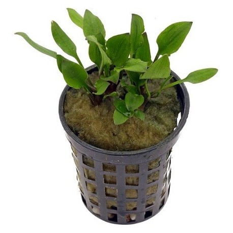 Cryptocoryne lutea 'Hobbit' Pot