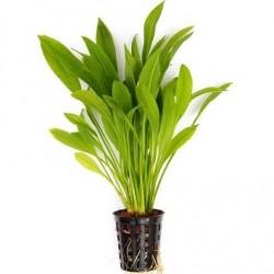 Echinodorus grisebachii 'Amazonicus' Pot