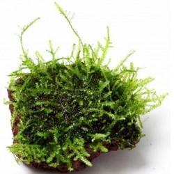 Nano Stone with Java moss