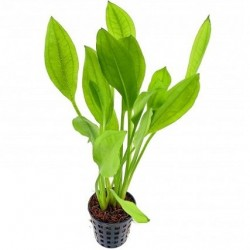 Echinodorus grisebachii 'Bleherae' Pot