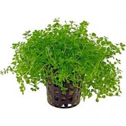Micranthemum tweediei (Montecarlo) Pot