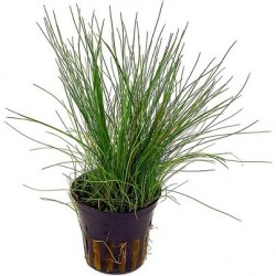 Eleocharis acicularis Pot