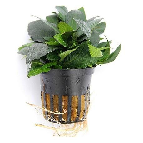 DENNERLE Hygrophila corymbosa Compact Pot