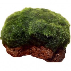 Cladophora aegagropila σε πέτρα λάβας