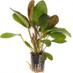 Echinodorus 'Ocelot' Pot