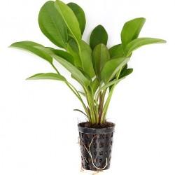 Echinodorus Dschungelstar No.2 Little Bear Pot