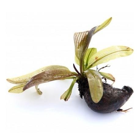 Aponogeton henkelianus Bulb