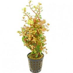 Rotala rotundifolia 'Orange Juice' Pot