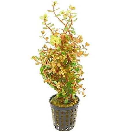 Rotala rotundifolia Orange Juice Pot