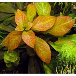 Ludwigia spec. 'Dark Orange'