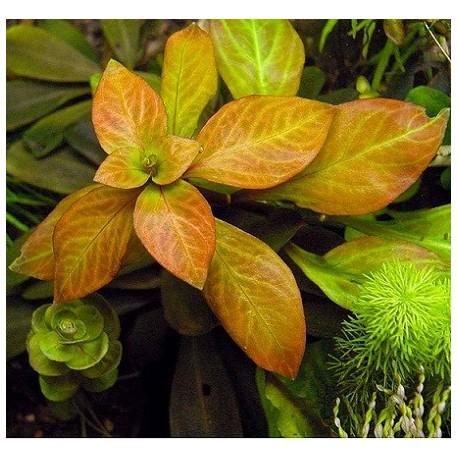 Ludwigia spec. 'Dark Orange'