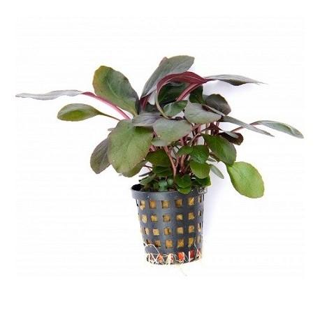 Lobelia cardinalis Pot