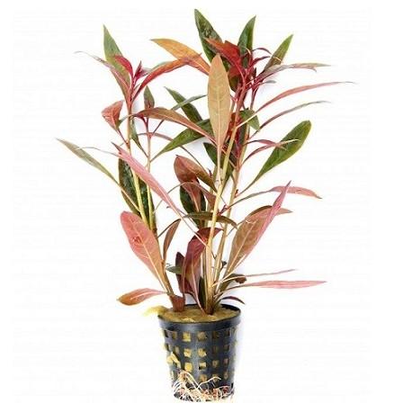 Ludwigia glandulosa perennis Pot