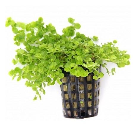 Micranthemum umbrosum Pot