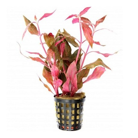 Alternanthera reineckii 'Red Ruby' Pot