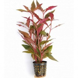 Alternanthera reineckii 'Red' Pot