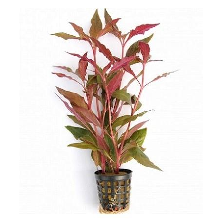 Alternanthera reineckii Red Pot