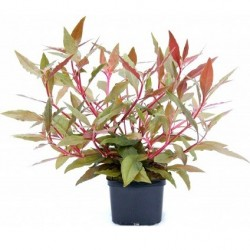 Alternanthera reineckii Red XXL