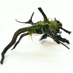 Taxiphyllum barbieri Spiderwood