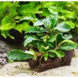 Bucephalandra Wavy Green σε nano stone(ΦΠ)