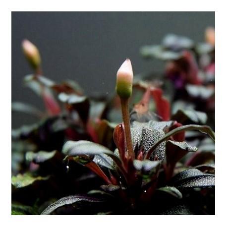 Bucephalandra sp. 'Red' σε nano stone