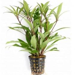 Hygrophila corymbosa Thailand Pot